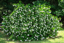 How to Take Care of a Frost-Proof Gardenia